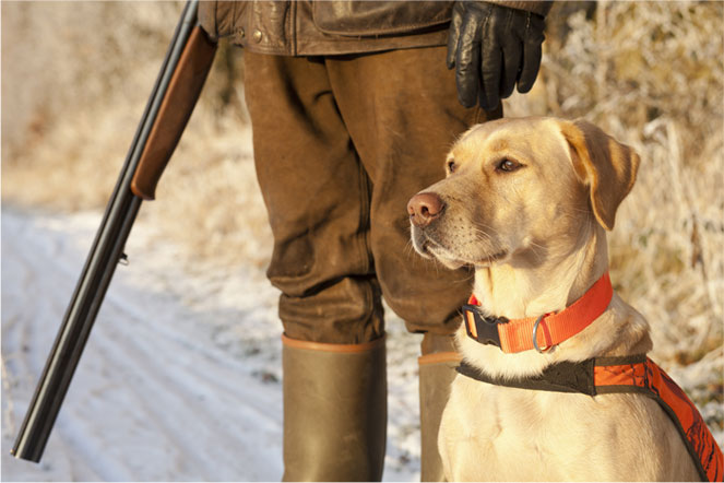 chasse, hunting, hunt, chasser, lois, laws, regulations, canadiennes, Canadians, dog, chien, firearm, arme à feu, fusil, gun, canada